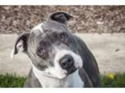 Adopt Nana a Pit Bull Terrier / Mixed dog in Napa, CA (25486126)