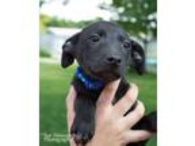 Adopt Latte a Whippet, Mixed Breed