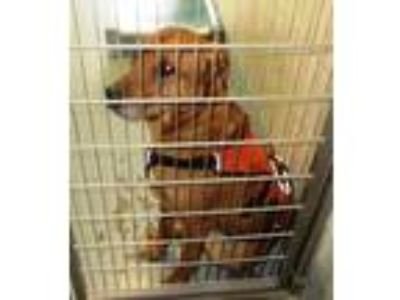 Adopt 153038 looking for owner a Labrador Retriever