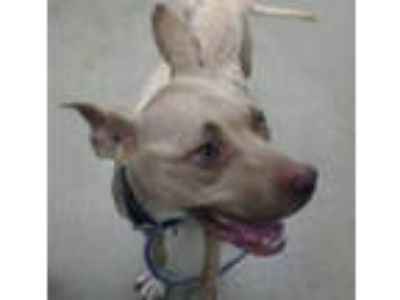 Adopt MONA a Pit Bull Terrier
