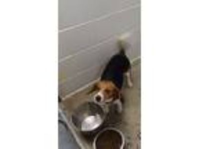 Adopt Bunchie a Tricolor (Tan/Brown & Black & White) Beagle / Mixed dog in