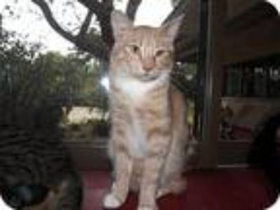 Adopt Oliver a Orange or Red Domestic Shorthair / Mixed (short coat) cat in Los