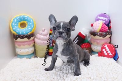 French Bulldog PUPPY FOR SALE ADN-93316 - AKC French Bulldog  Royce  Male