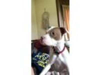 Adopt Athena a White - with Brown or Chocolate American Pit Bull Terrier / Boxer
