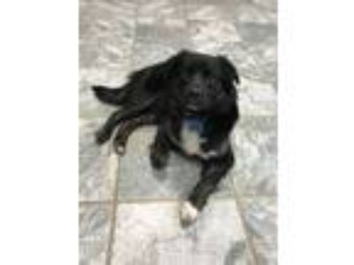 Adopt Barry a Border Collie, Australian Shepherd