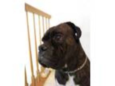 Adopt Junior a Brindle Boxer / Mixed dog in Newfield, NJ (24915968)