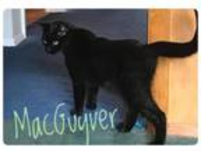 Adopt Macguyver a All Black Domestic Shorthair (short coat) cat in Greensburg