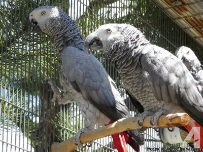 Adorable male and female Scarlet African grew Parrots