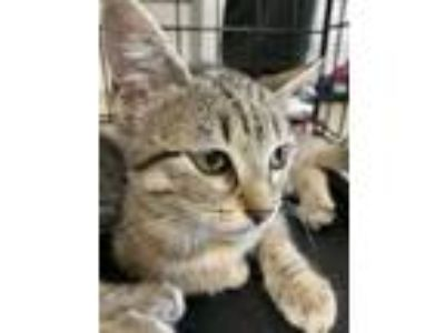 Adopt Kitty1 a Gray or Blue Domestic Shorthair / Domestic Shorthair / Mixed cat