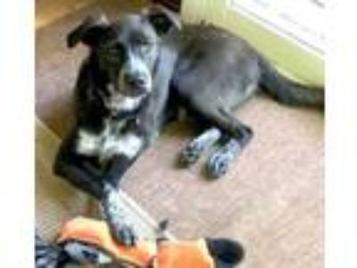Adopt Dixie a Labrador Retriever, Border Collie