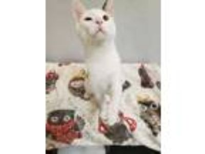 Adopt Orion a White Domestic Shorthair / Domestic Shorthair / Mixed cat in Oak
