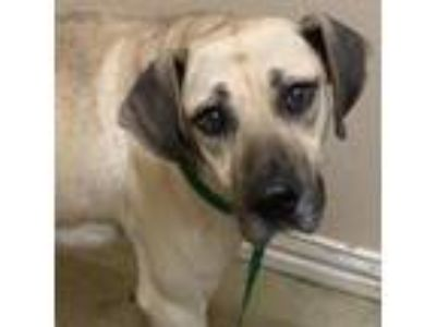 Adopt Amastan (VIP) a Tan/Yellow/Fawn Mastiff / Hound (Unknown Type) / Mixed dog