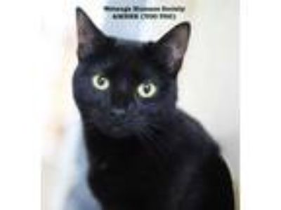 Adopt Amber (Too Too) a All Black Domestic Shorthair / Domestic Shorthair /