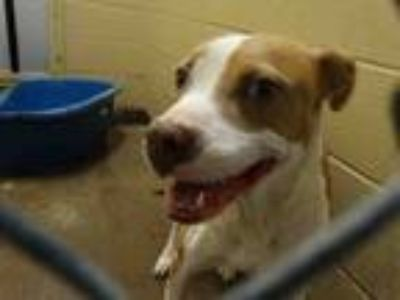 Adopt BEAR a American Staffordshire Terrier, Mixed Breed