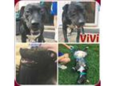 Adopt VIVI a Black - with White Labrador Retriever / Mixed dog in Malvern