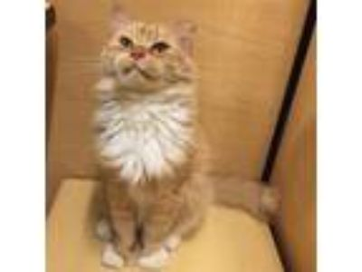 Adopt Robin a Orange or Red Domestic Longhair / Domestic Shorthair / Mixed cat