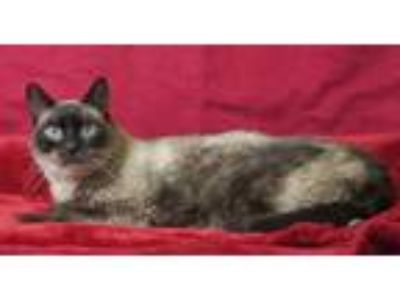 Adopt Oliver a Brown or Chocolate Siamese / Domestic Shorthair / Mixed cat in