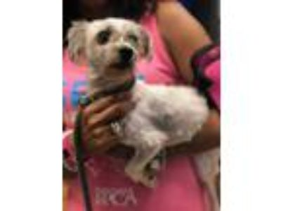 Adopt Casper a White Terrier (Unknown Type, Small) / Mixed dog in Philadelphia