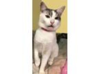 Adopt Meadow a White (Mostly) American Shorthair / Mixed (short coat) cat in