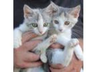 Adopt Belinda and Babs a Calico or Dilute Calico Domestic Shorthair (short coat)