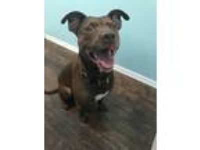 Adopt Roxi a Brown/Chocolate American Pit Bull Terrier / Mixed dog in