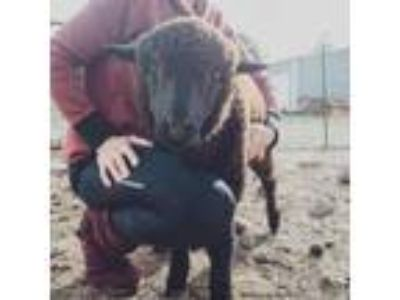 Adopt Nomad a Sheep
