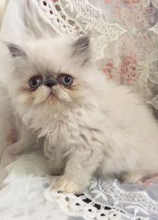 Persian Kittens - Charlotte Classifieds - Claz org