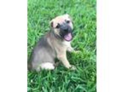 Adopt Paisley a Terrier, Jack Russell Terrier