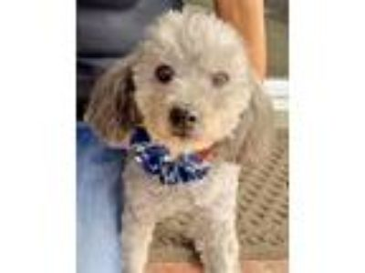 Adopt TRENO a Gray/Silver/Salt & Pepper - with Black Poodle (Miniature) / Mixed