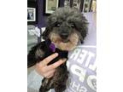 Adopt Alona a Black - with White Poodle (Toy or Tea Cup) / Mixed dog in Thousand