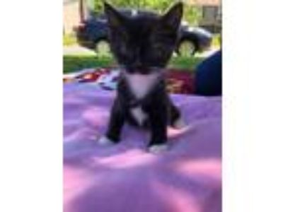 Adopt Bear a Black & White or Tuxedo Domestic Shorthair / Mixed cat in