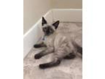 Adopt Oliver a Domestic Short Hair, Siamese