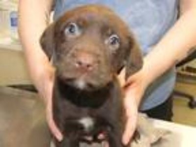 Adopt ROOSTER a Brown/Chocolate Labrador Retriever / Mixed dog in St.