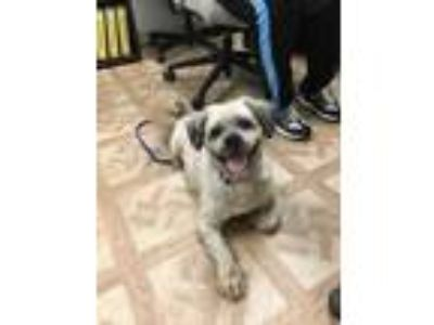 Adopt Buckee a Tan/Yellow/Fawn Lhasa Apso / Mixed dog in Worcester