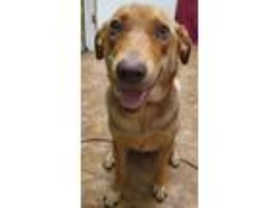 Adopt Piper a Labrador Retriever