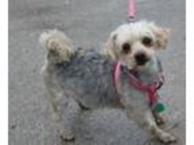 Adopt Muffy -Foster Needed 7/13 a Yorkshire Terrier, Poodle