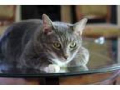 Adopt Helen the Beautiful a Domestic Short Hair, Tabby