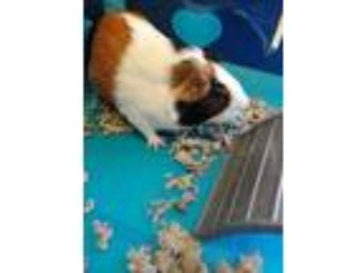 Adopt Wilma a Tan or Beige Guinea Pig / Guinea Pig / Mixed small animal in