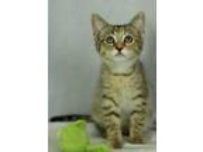Adopt Waffles a Brown Tabby Domestic Shorthair (short coat) cat in