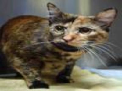 Adopt BELLA a Domestic Short Hair