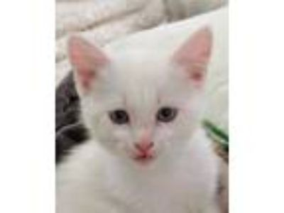 Adopt Macgyver a White Domestic Shorthair / Domestic Shorthair / Mixed cat in