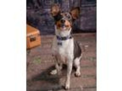 Adopt Prince Snugabug a Tricolor (Tan/Brown & Black & White) Rat Terrier /