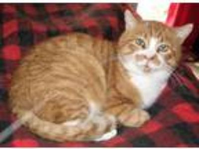 Adopt George a Orange or Red (Mostly) Domestic Shorthair / Mixed (short coat)