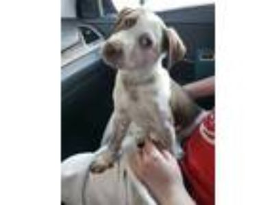 Adopt Roux a German Shorthaired Pointer
