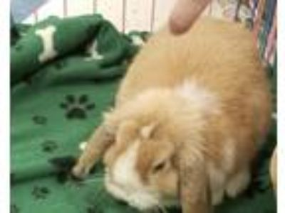 Adopt Thelma a Lop-Eared / Mixed (medium coat) rabbit in Kenosha, WI (25238038)