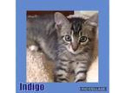 Adopt Indigo a Brown Tabby Domestic Shorthair (short coat) cat in Hicksville