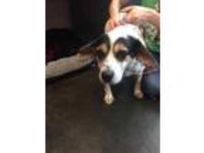 Adopt Audie a Beagle, Mixed Breed