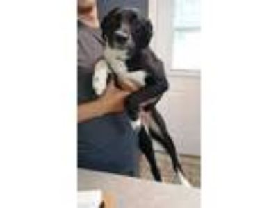 Adopt Olyssa a Black Border Collie / Mixed dog in Branson, MO (25496666)