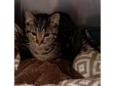 Adopt Taz a Brown or Chocolate Domestic Shorthair cat in South Haven