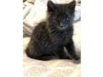 Adopt Little Boy Blue a Gray or Blue Domestic Mediumhair / Domestic Shorthair /
